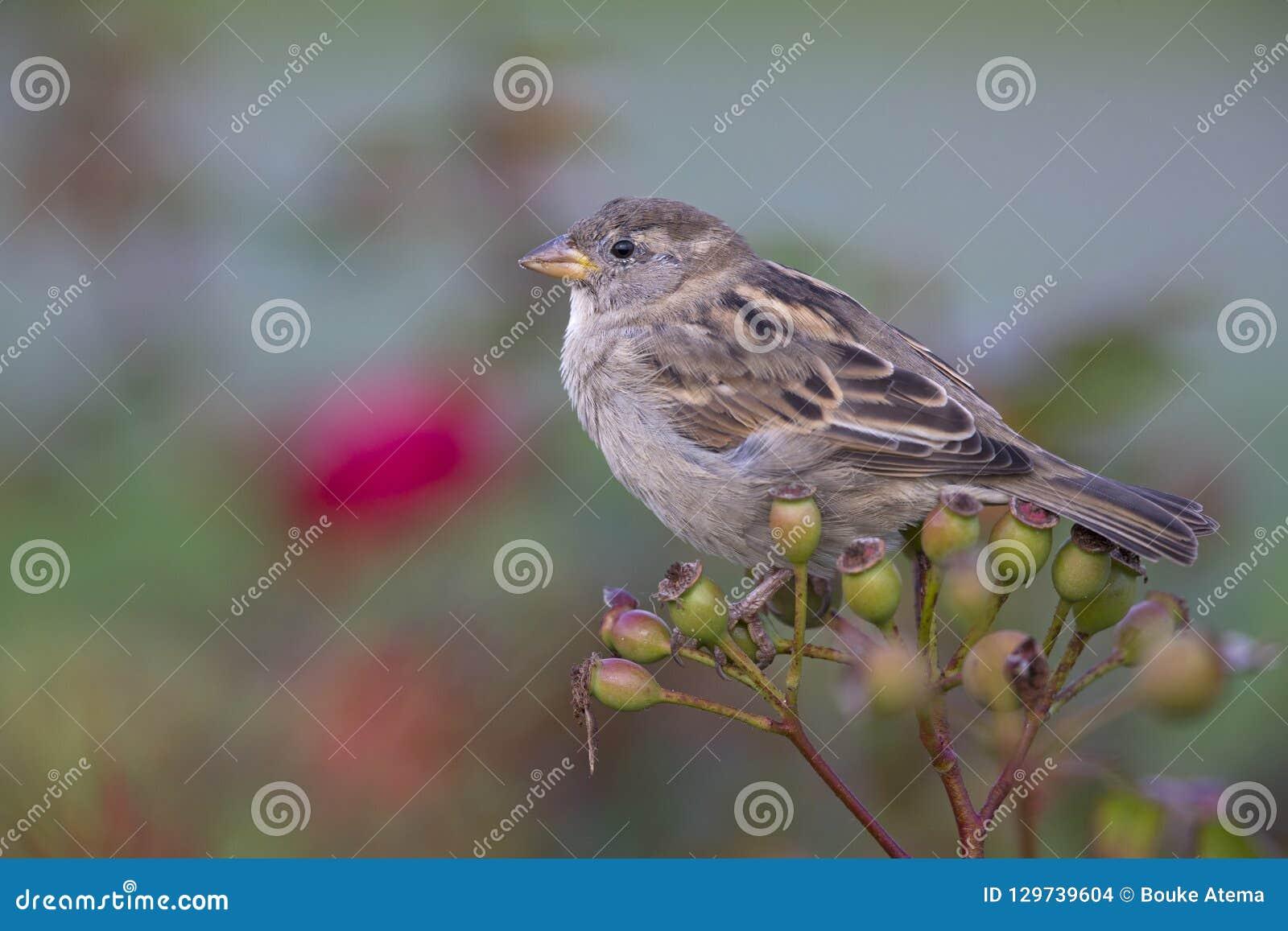 Un domesticus femenino del transeúnte del gorrión de casa encaramado en una rama de un arbusto de la cadera color de rosa Detrás