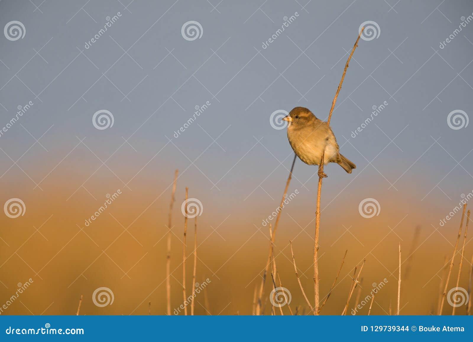Un domesticus femenino del transeúnte del gorrión de casa encaramado en una rama de lámina en el sol de oro de la mañana