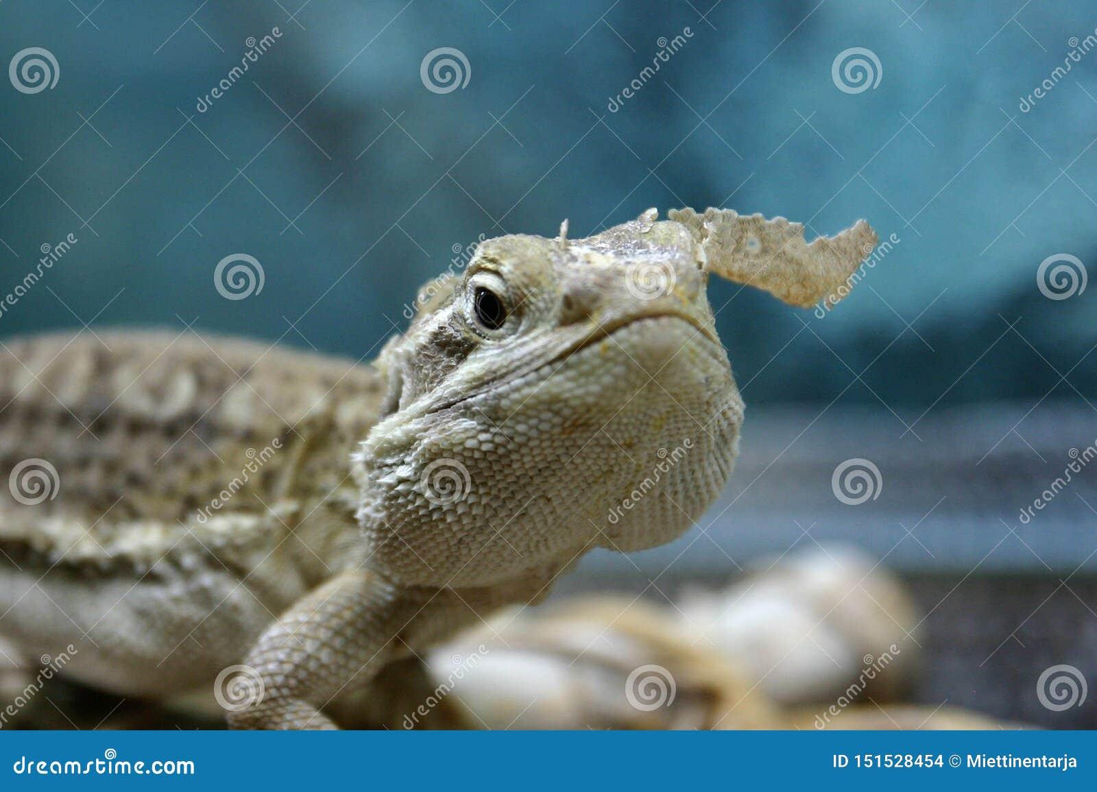 Un dragón de los rankin está cambiando sking