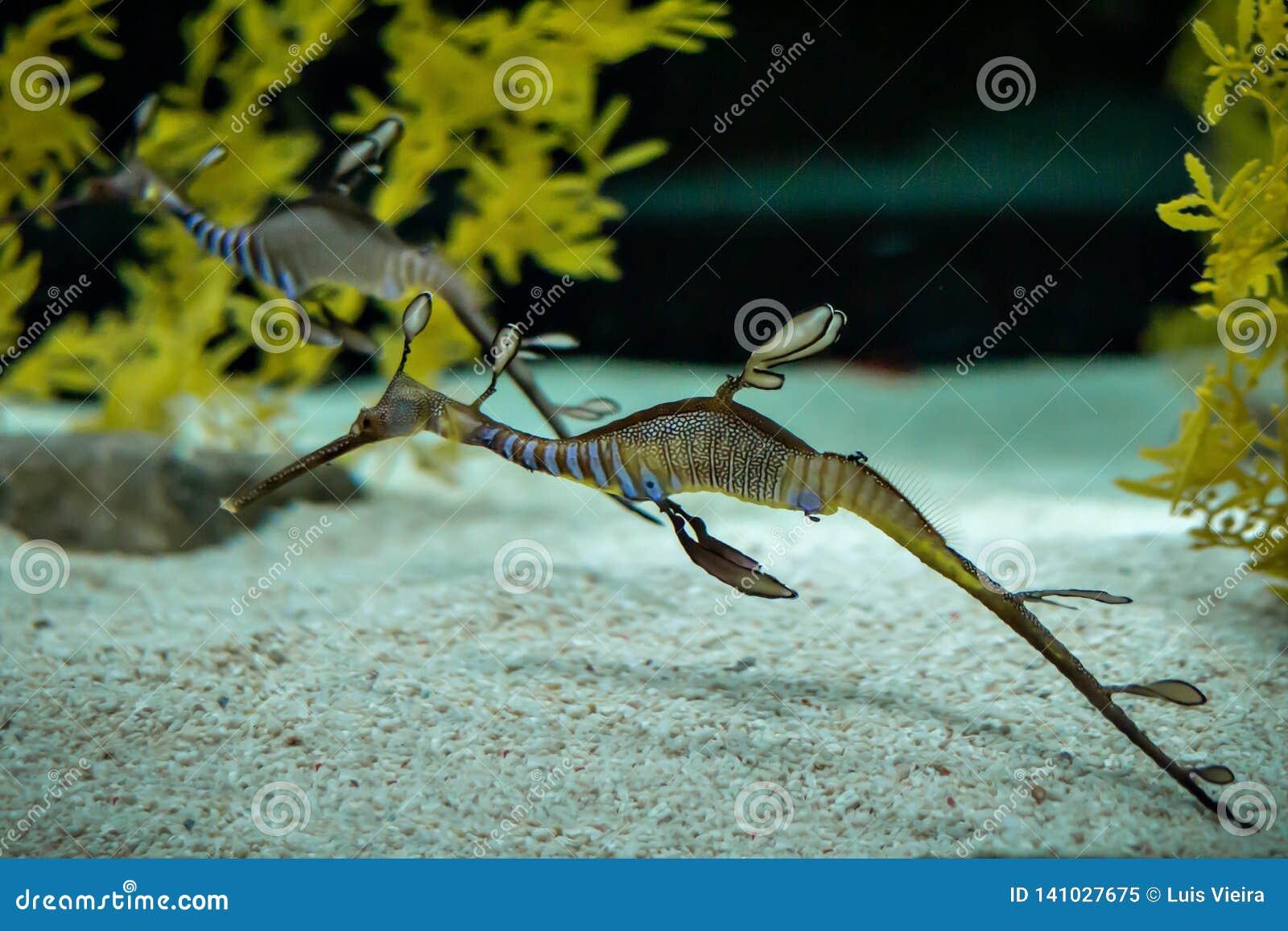 Un dragón hermoso del mar