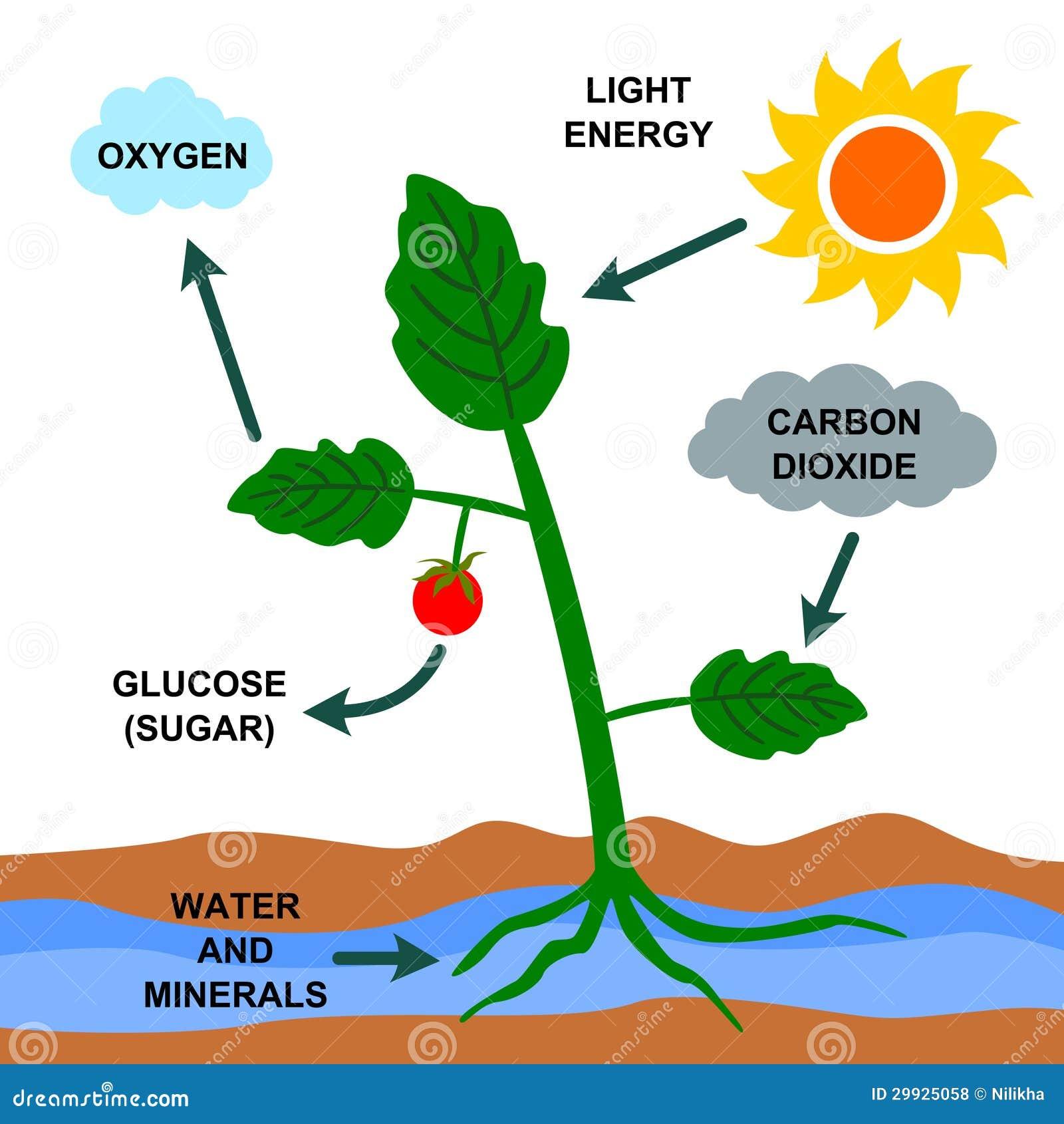 Photosynthesis Plant Cartoon