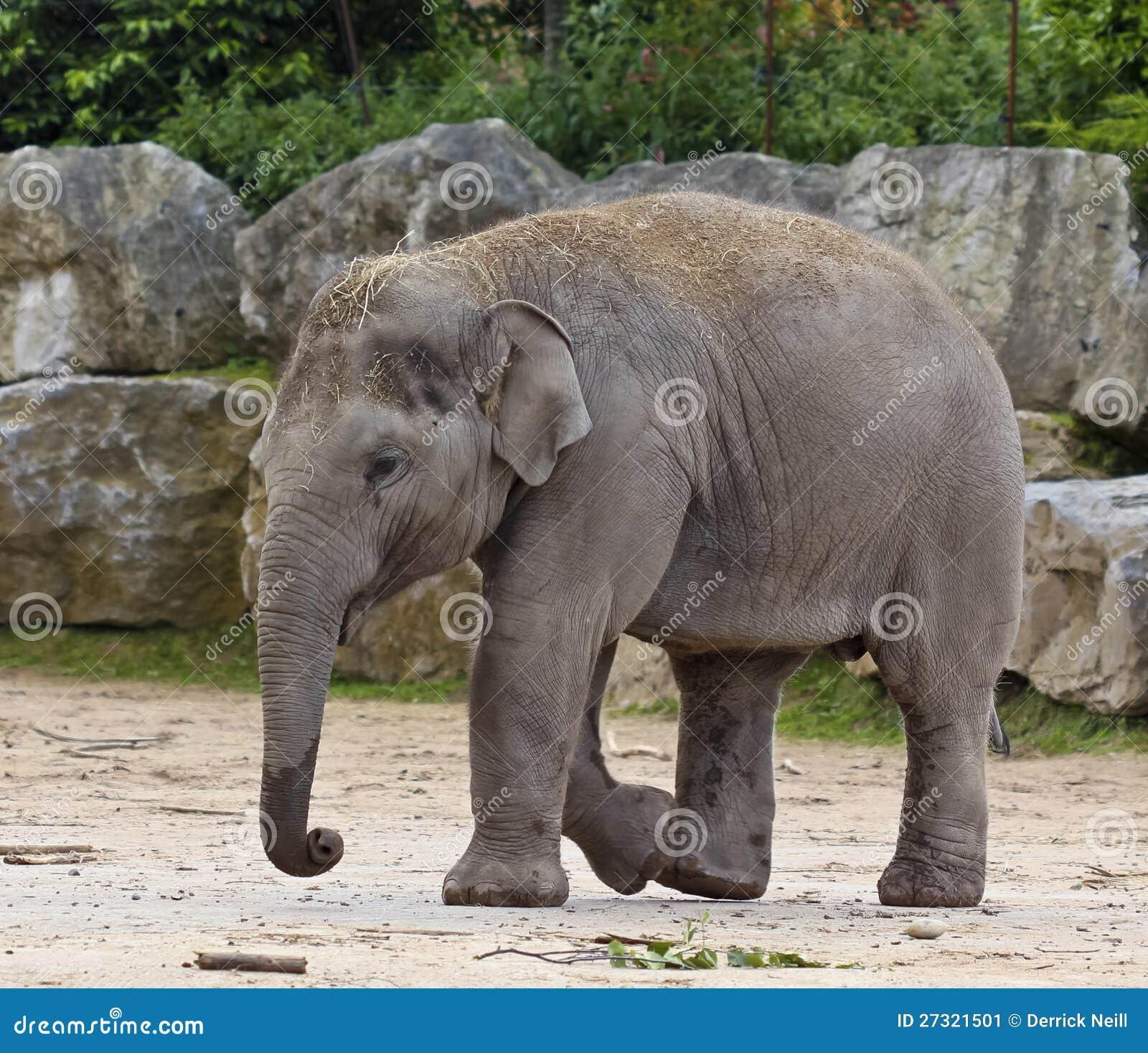 Un elefante asi tico del beb en un parque zool gico - Fotos de elefantes bebes ...