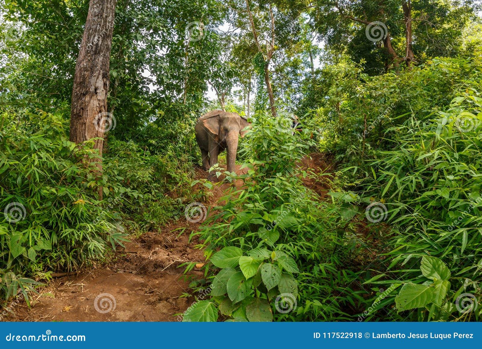 Un elefante cammina in mezzo alla giungla in Chiang Mai Thailand