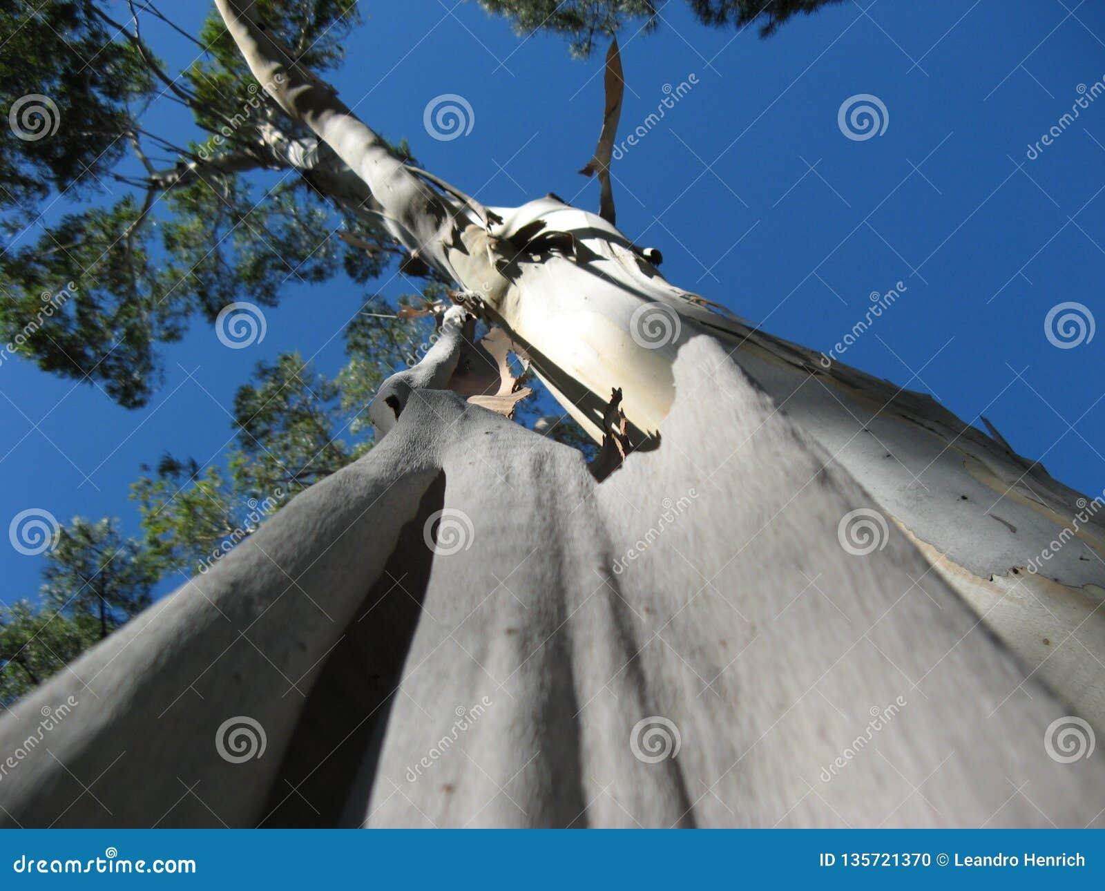 Un eucalipto que vierte su corteza