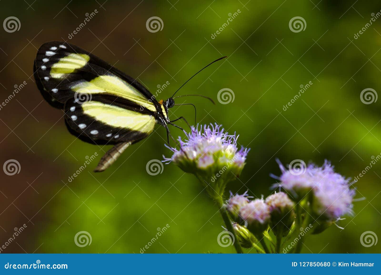 Un eurimedia legato di Aeria della farfalla di Tigerwing scende su un fiore porpora