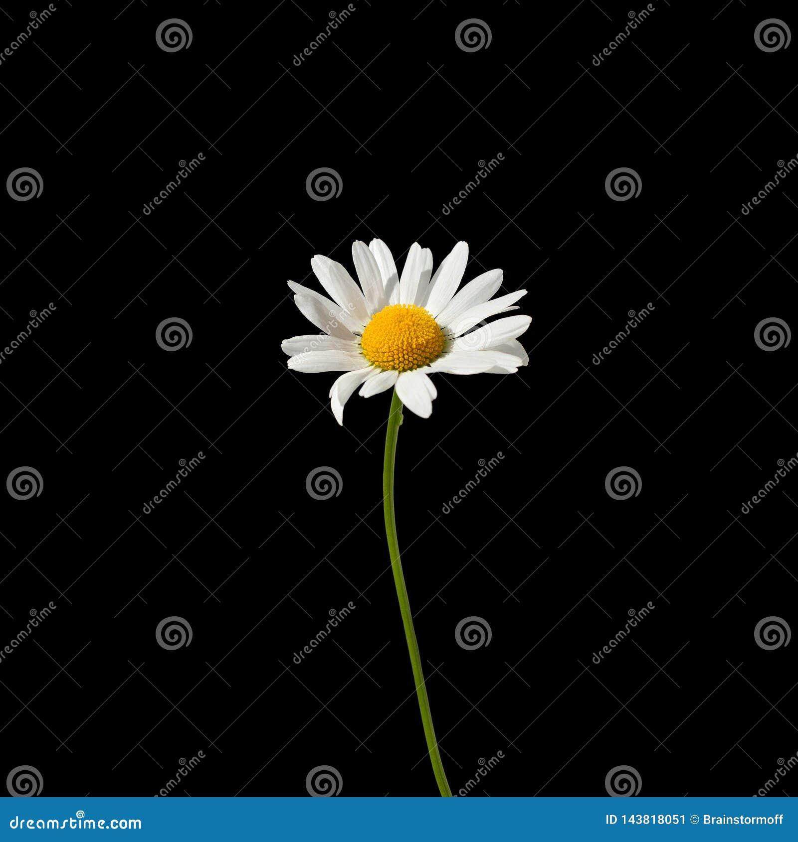 Un fiore della margherita con i petali bianchi e centro giallo su un gambo verde sulla fine nera del fondo sulla macro isolata ne
