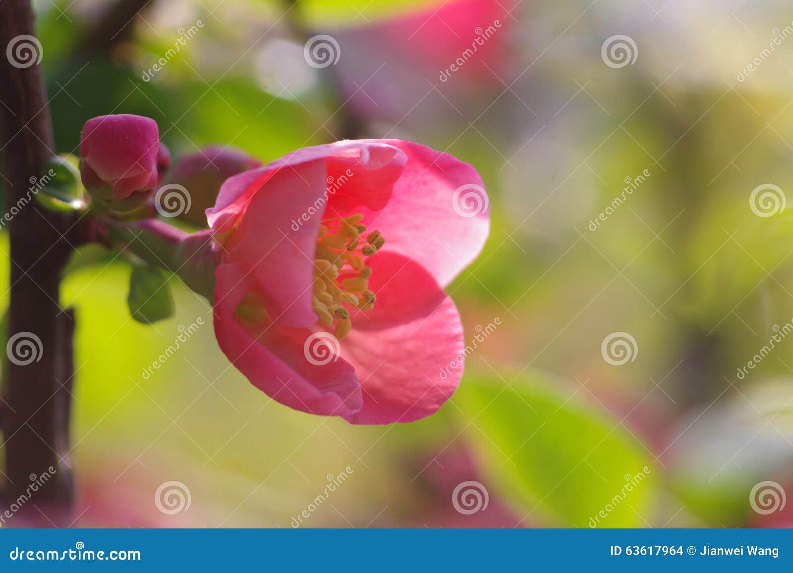 Un fiore di lagenaria di chaenomeles