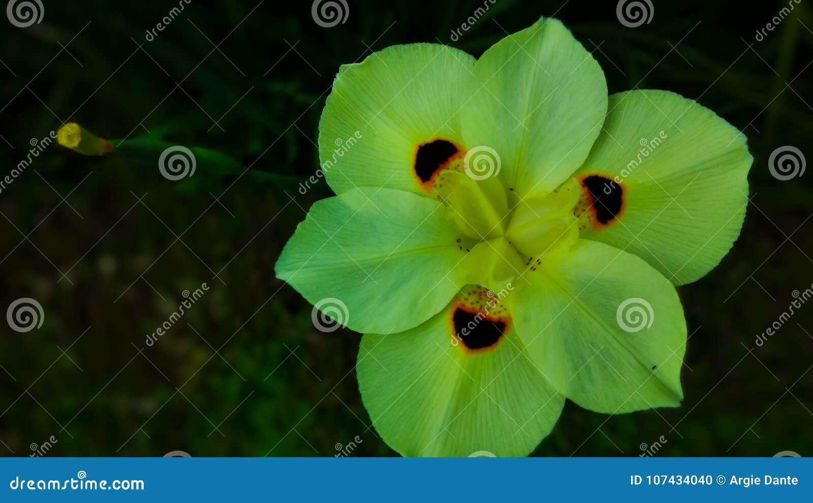 Fiore Giallo 6 Petali.Un Fiore Di Ragno Giallo Giglio Africano Selvatico Un Fiore Con