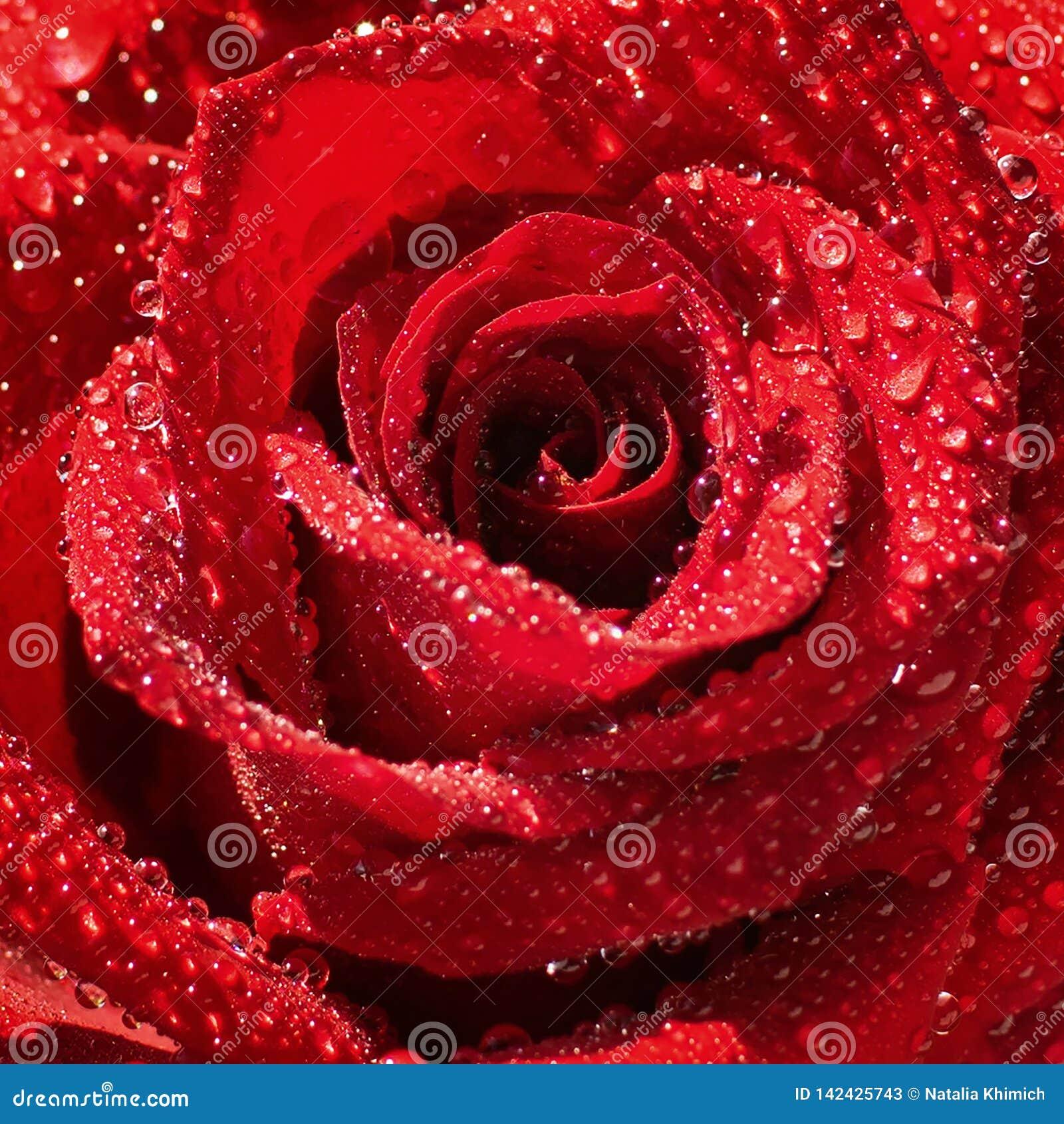Un fiore di una rosa rossa adorabile fresca coperta di primo piano delle gocce di rugiada Macro Fuoco selettivo