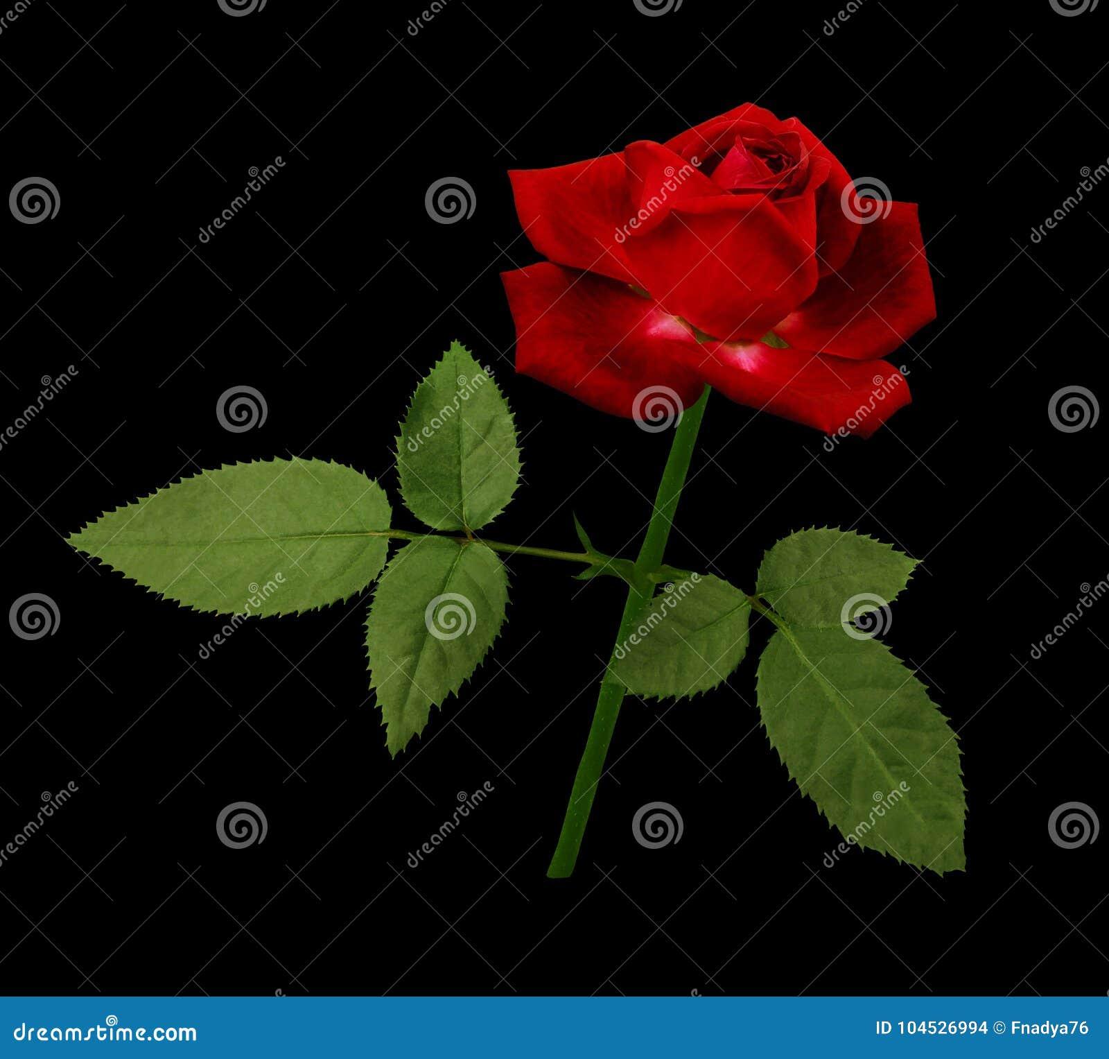 Un Fiore Di Una Rosa Rossa Su Un Gambo Verde Con Le Foglie Fiorisca