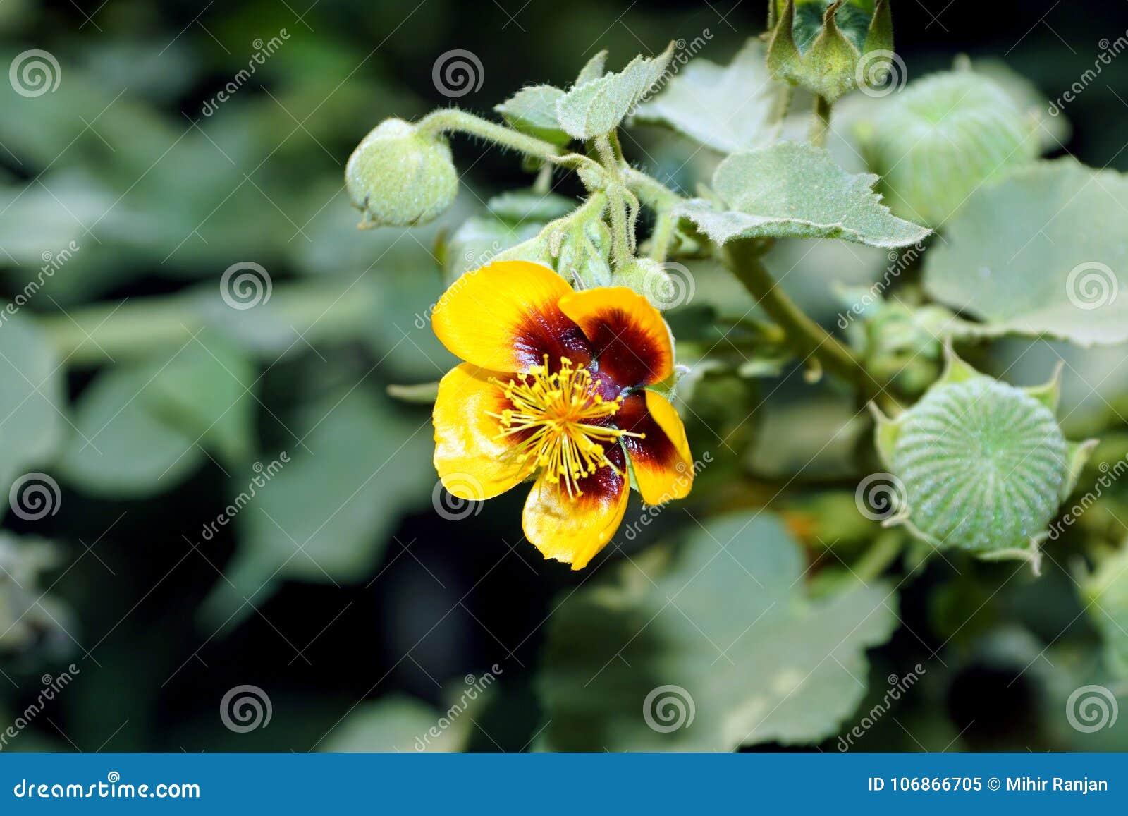 Fiori Con La S.Un Fiore Giallo Della Malva Indiana Del S Di Palmer Con I