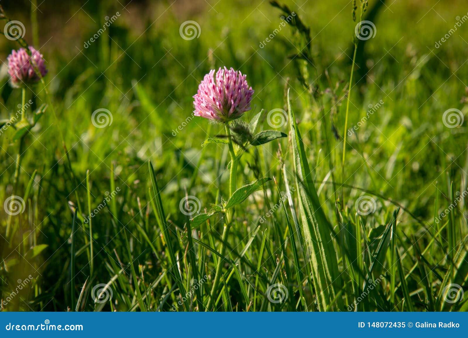 Un fiore rosa del trifoglio è in erba verde nel campo alla luce solare morbida naturale Fondo