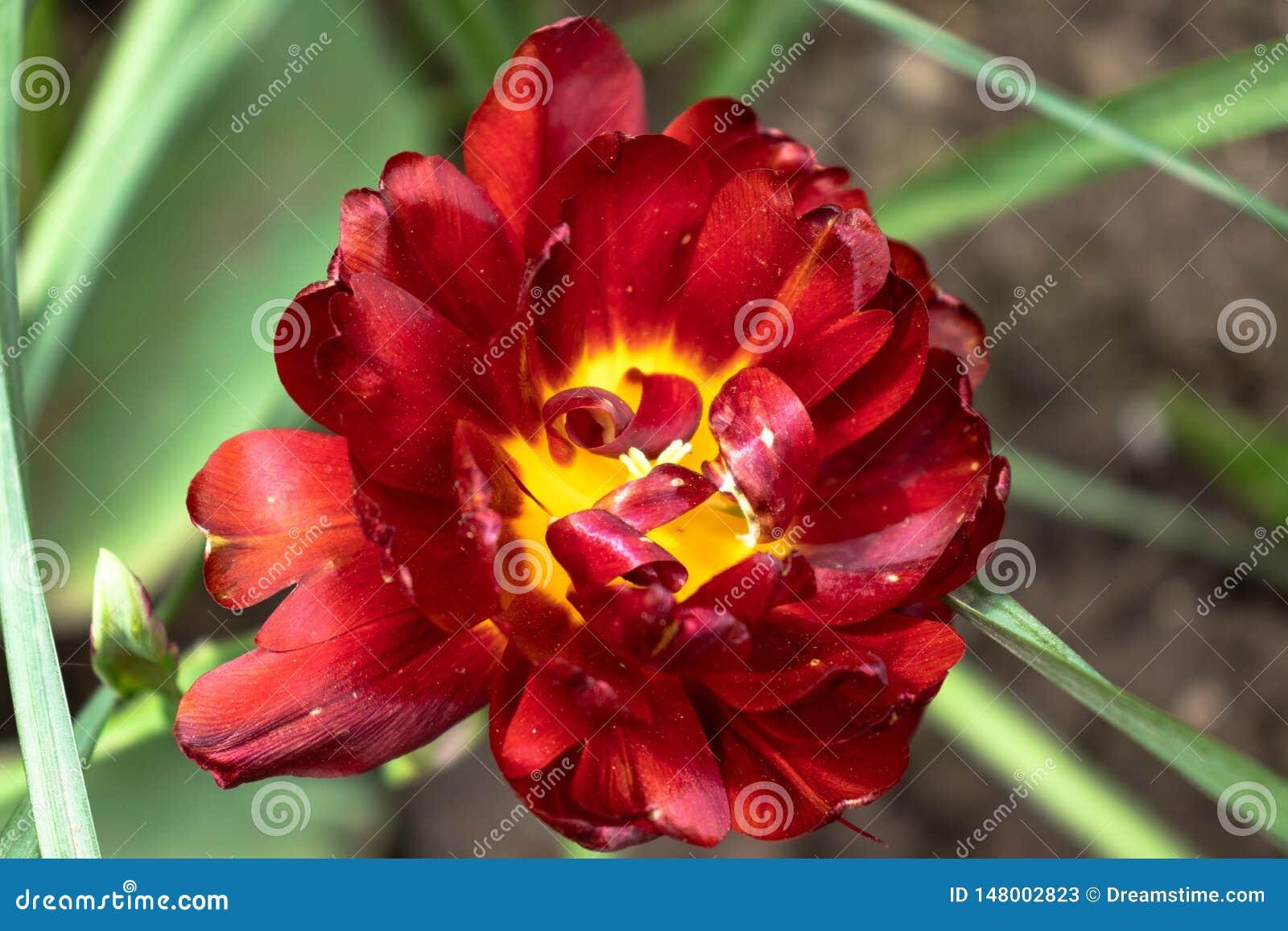 Un fiore rosso con le foglie verdi