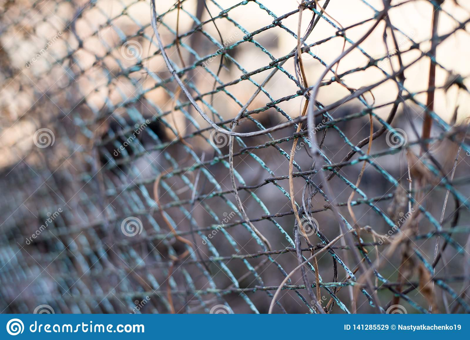 Un fond d automne avec la liane de plante grimpante de Virginie sur la vieille barrière rouillée de jardin en métal