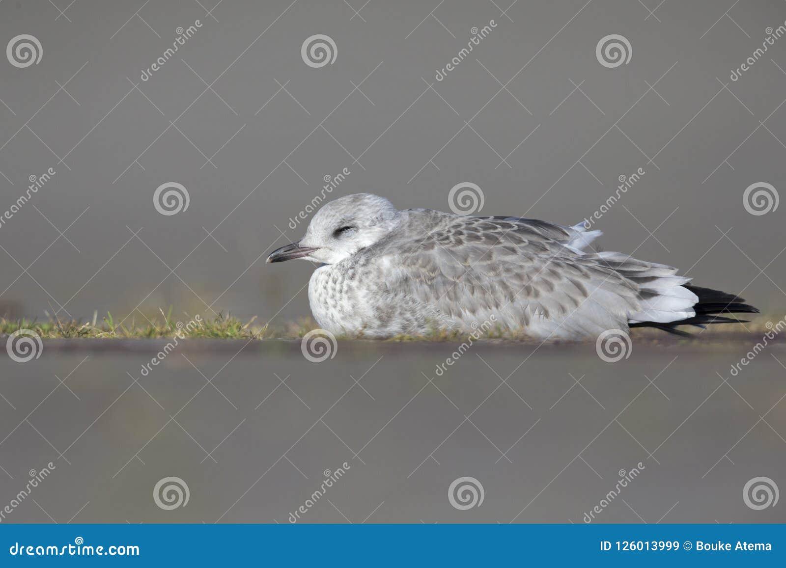 Un gabbiano comune giovanile o canus di larus del gabbiano di miagolio che mette sulla terra che riposa nei porti di Brema German