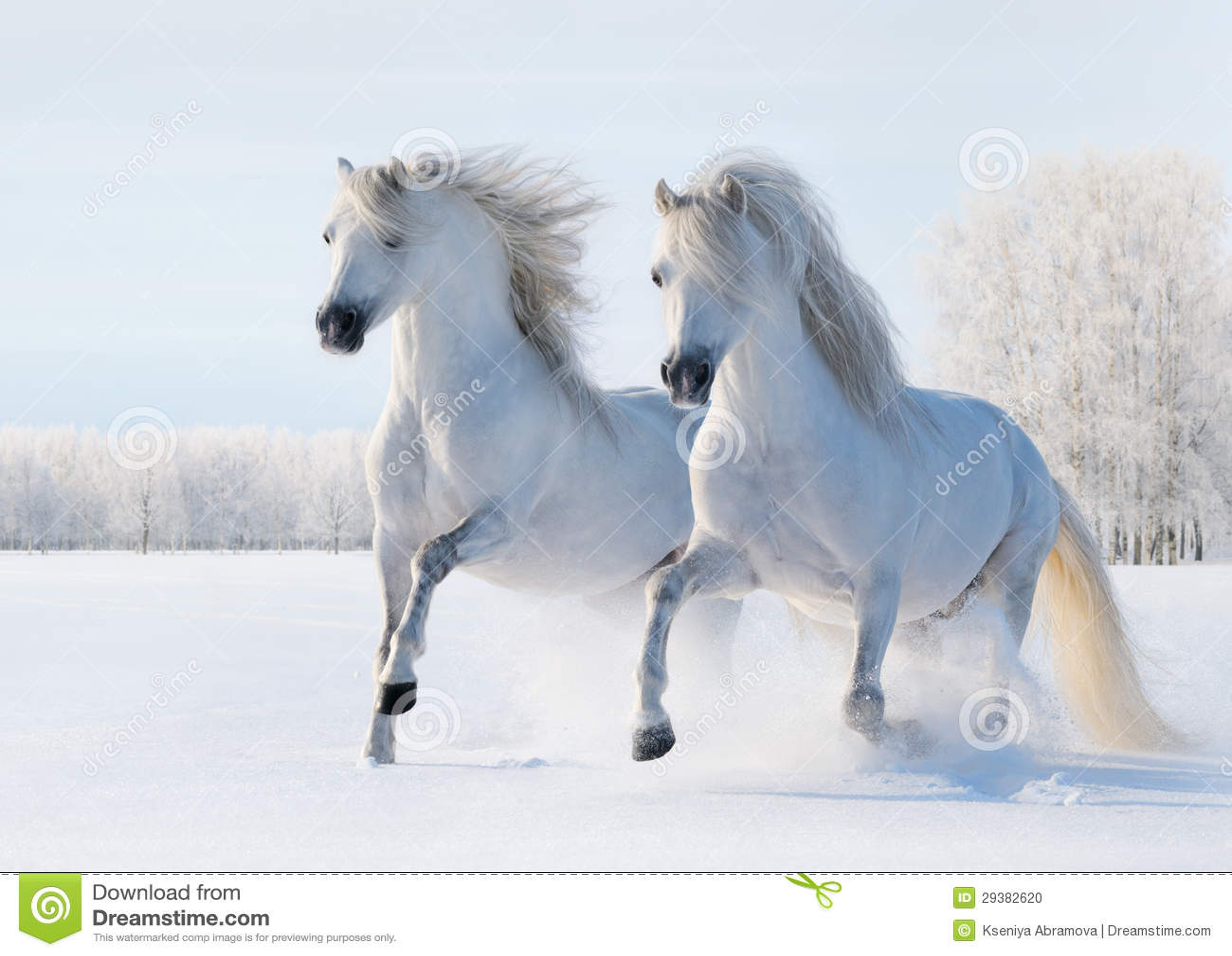 Ben noto Un Galoppo Di Due Cavalli Bianchi Sul Campo Di Neve Fotografia  CP14