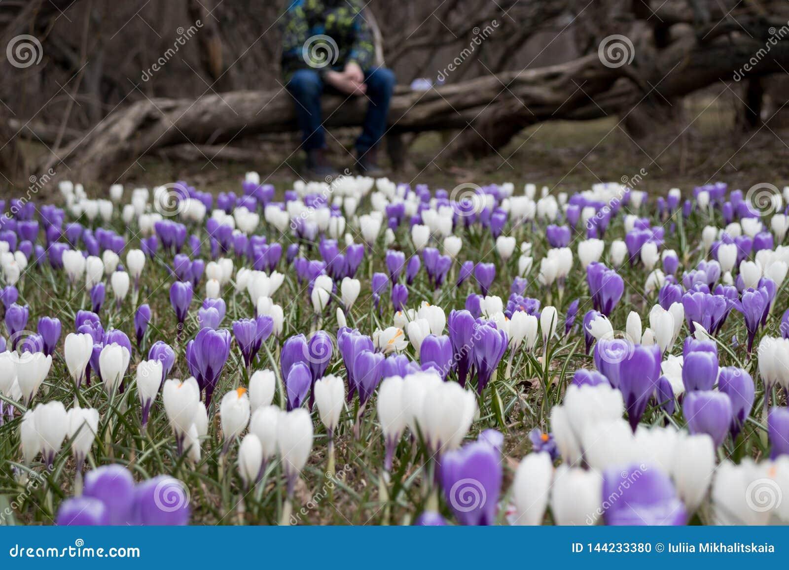 Un garçon triste brouillé s asseyant sur un arbre tombé en parc foncé, beaucoup de fleurs de crocus devant lui - il est apatique,