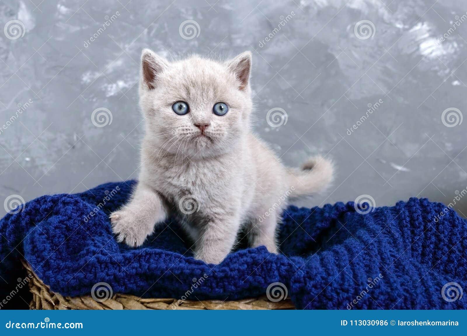 Un gatito recto escocés de la pequeña lila en una cesta El gatito mira cuidadosamente