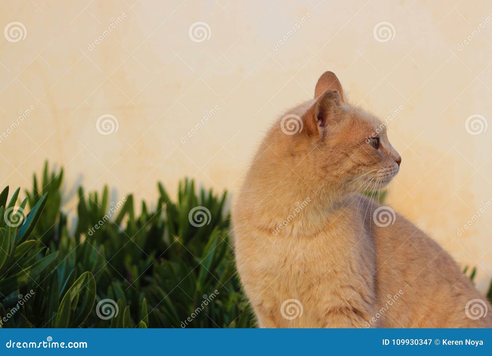 Un Gato Curioso De Un Color Del Melocotón Imagen de archivo - Imagen ...