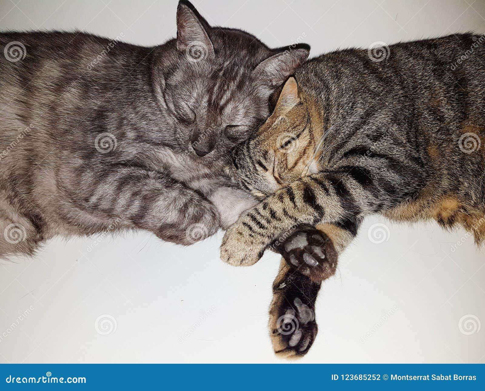 Un gato de gato atigrado y otro dormir de la concha