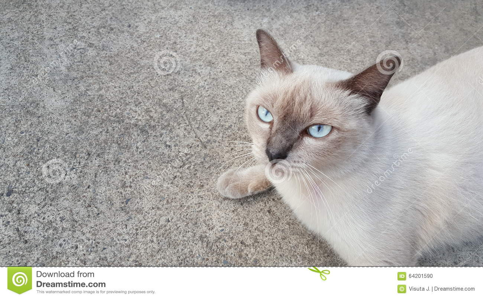 Un gato de Siames