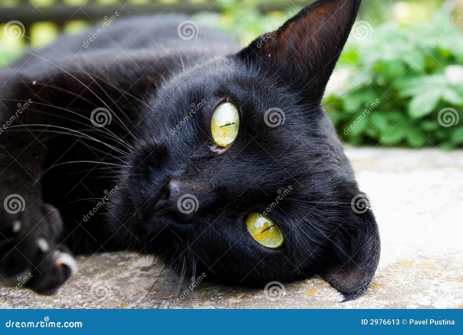 Un gato negro mira fijamente con los ojos amarillos fotos - Cortinas el gato preto ...