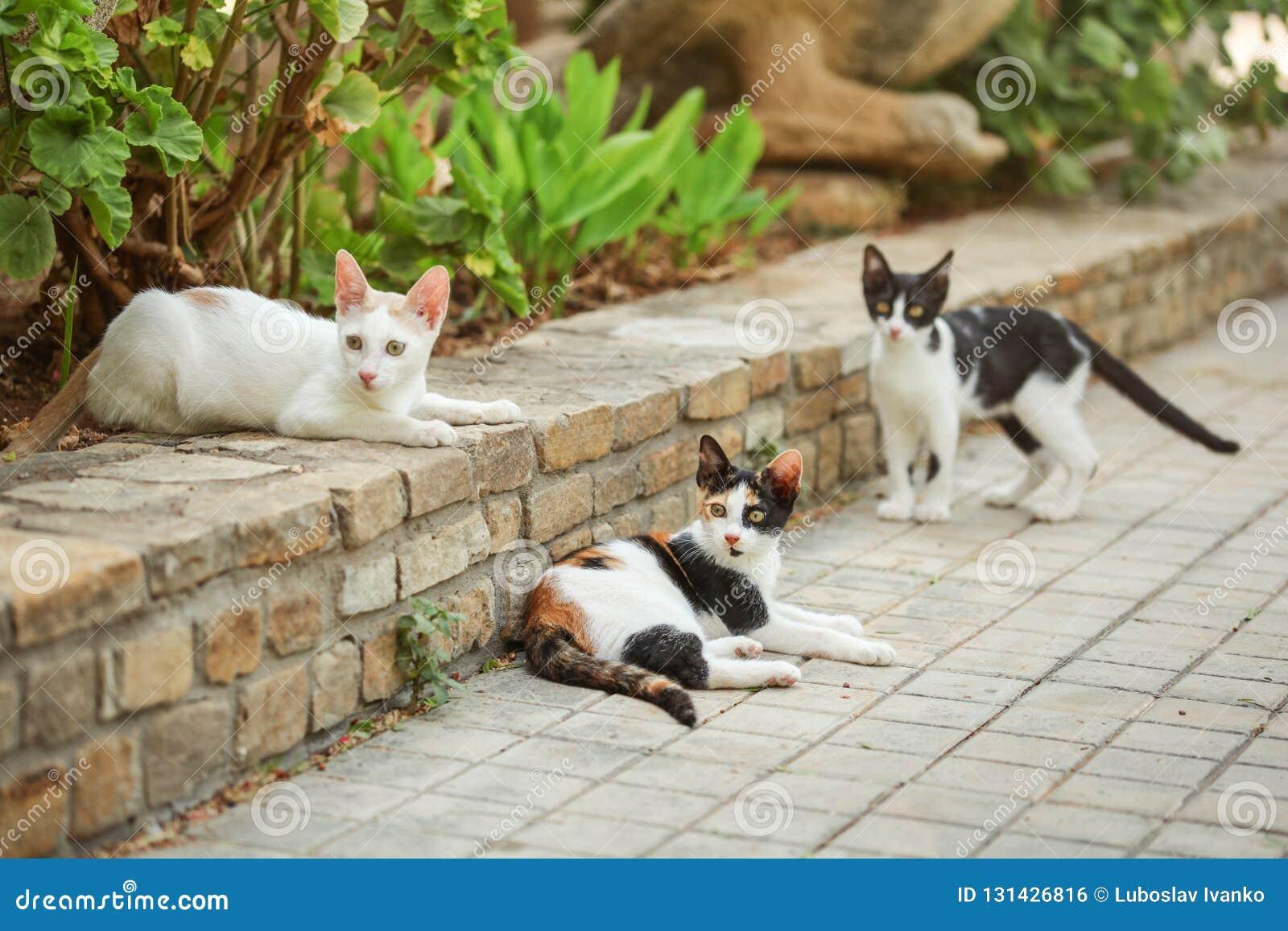 Un gatto arancio nero bianco di tre colori, trovantesi sulla pavimentazione in giardino, con due gatti più smarriti intorno lei