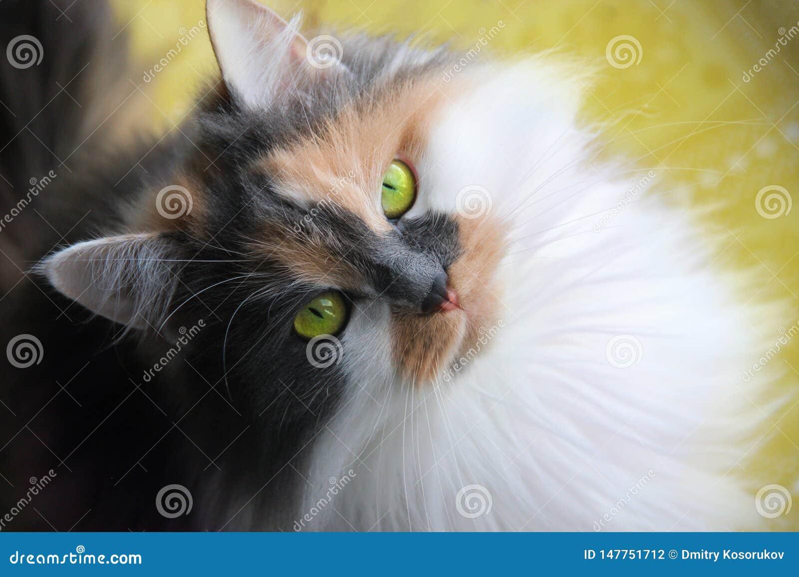 Un gatto di tri colore