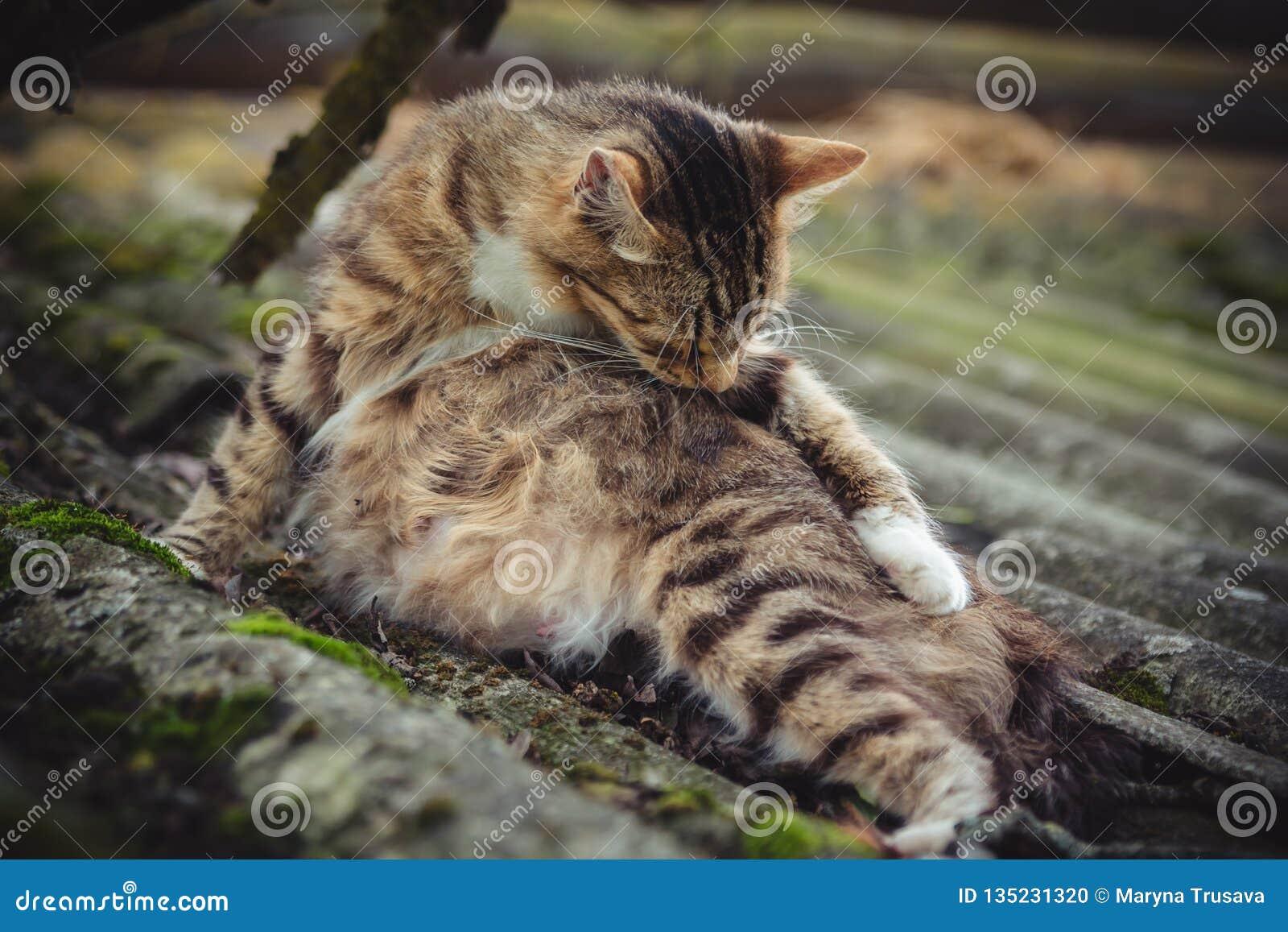 Un gatto incinto colorato del soriano lecca la sua pelliccia su un vecchio tetto coperto di muschio