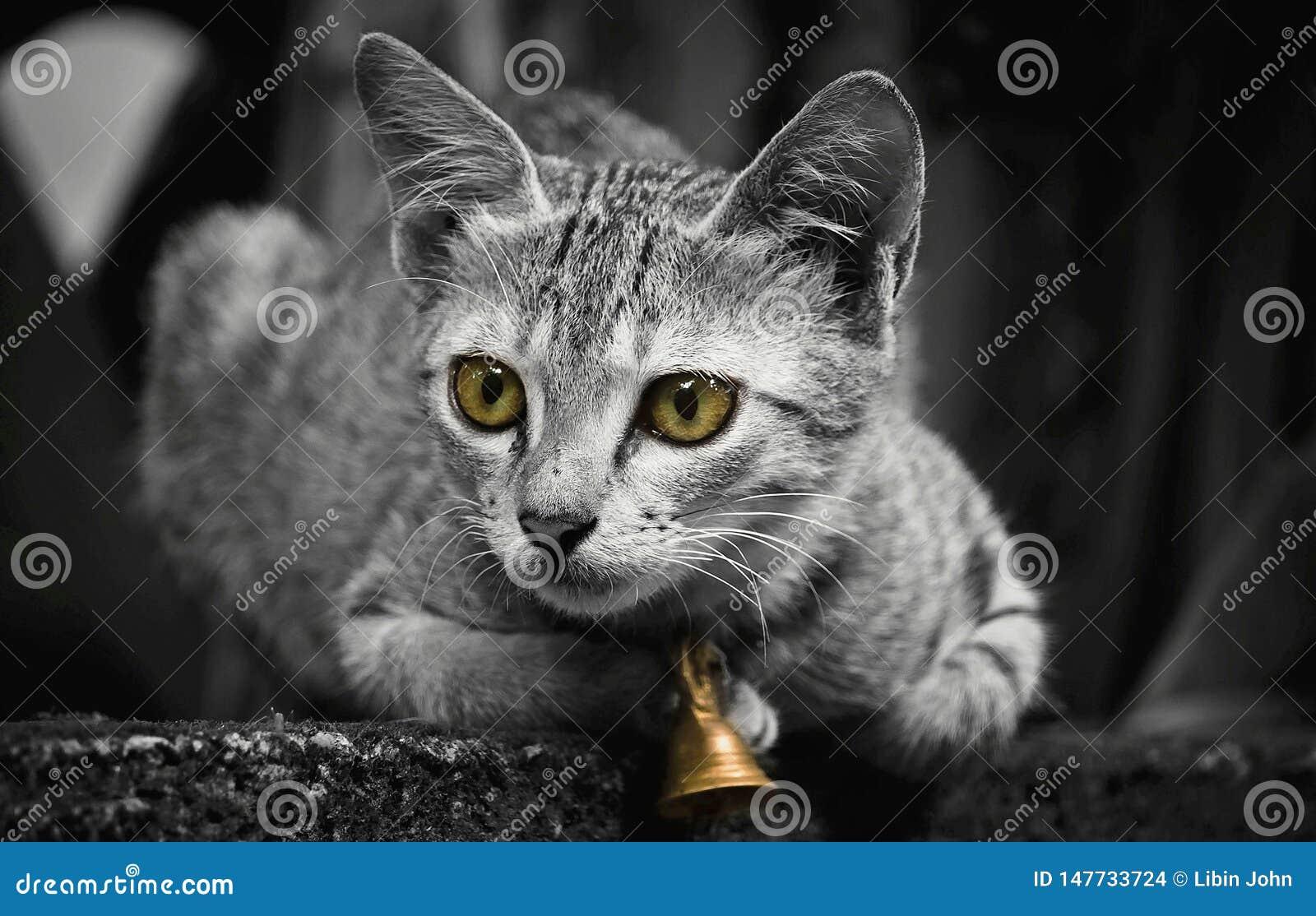 Un gatto indiano con la campana dorata che si siede sulla parete composta