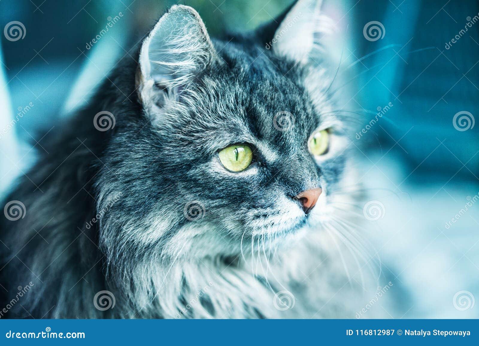 Un gatto lanuginoso della razza siberiana Primo piano