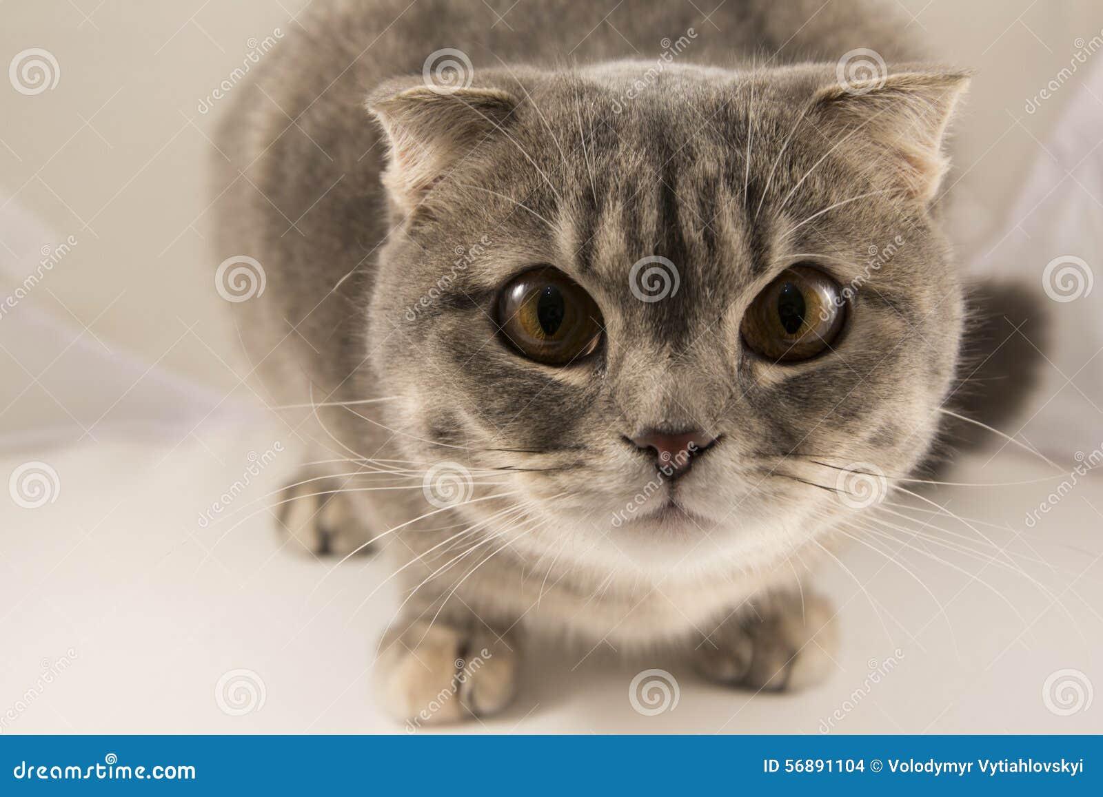 Un gatto a strisce grigio curioso, macro