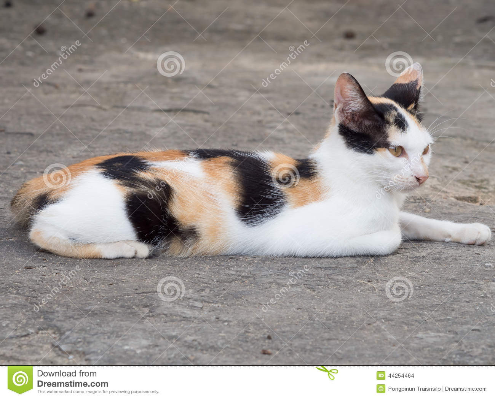 Un gatto tailandese di tre colori fotografia stock - Immagine del gatto a colori ...