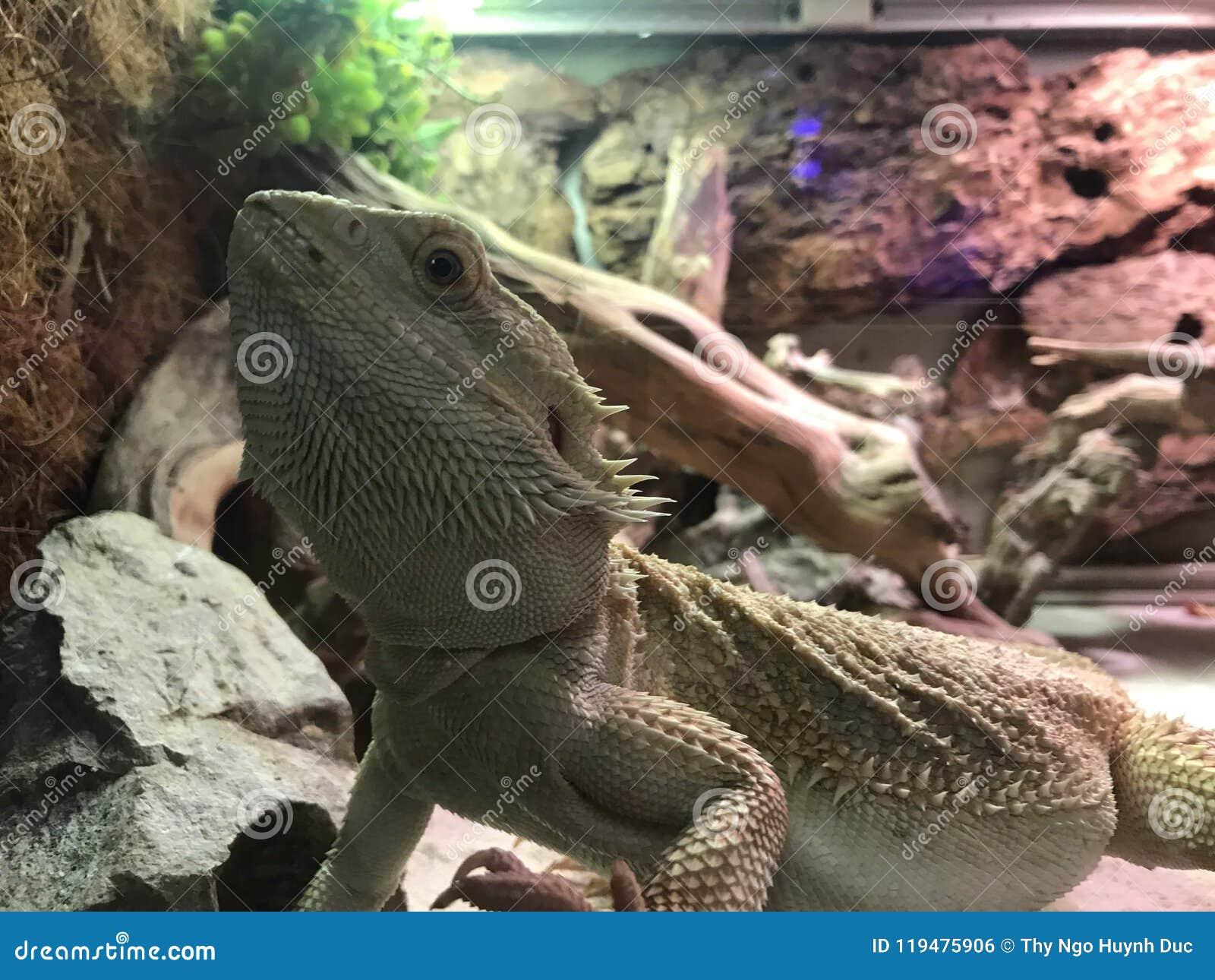 Un genre de gecko au Vietnam