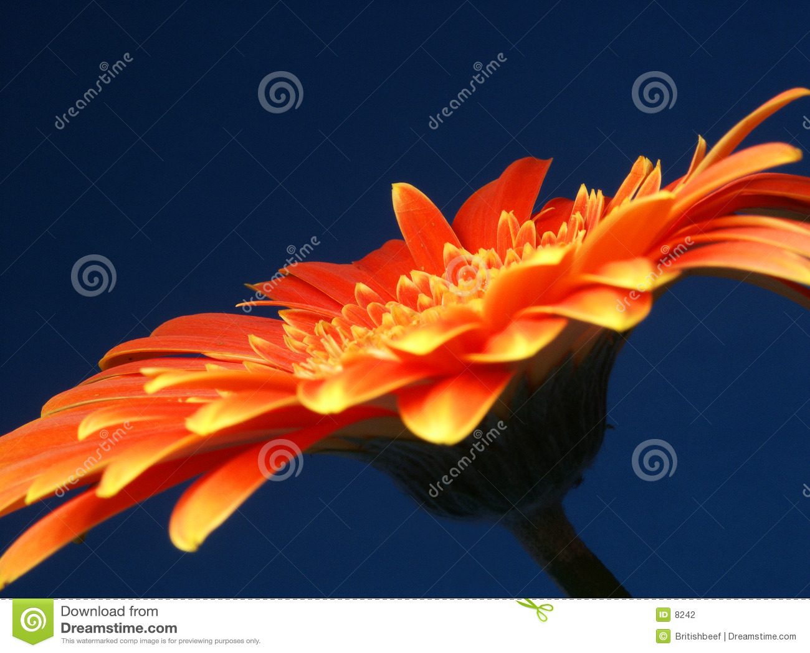 Un Gerber ardent (ou Gerbera)