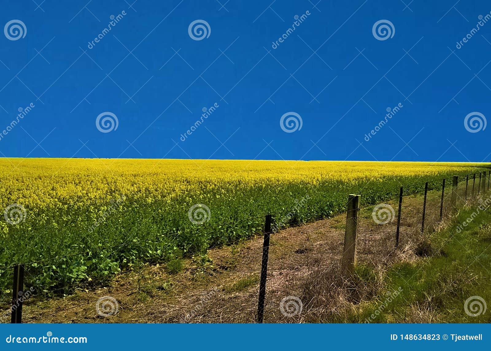 Un giacimento giallo luminoso del Canola
