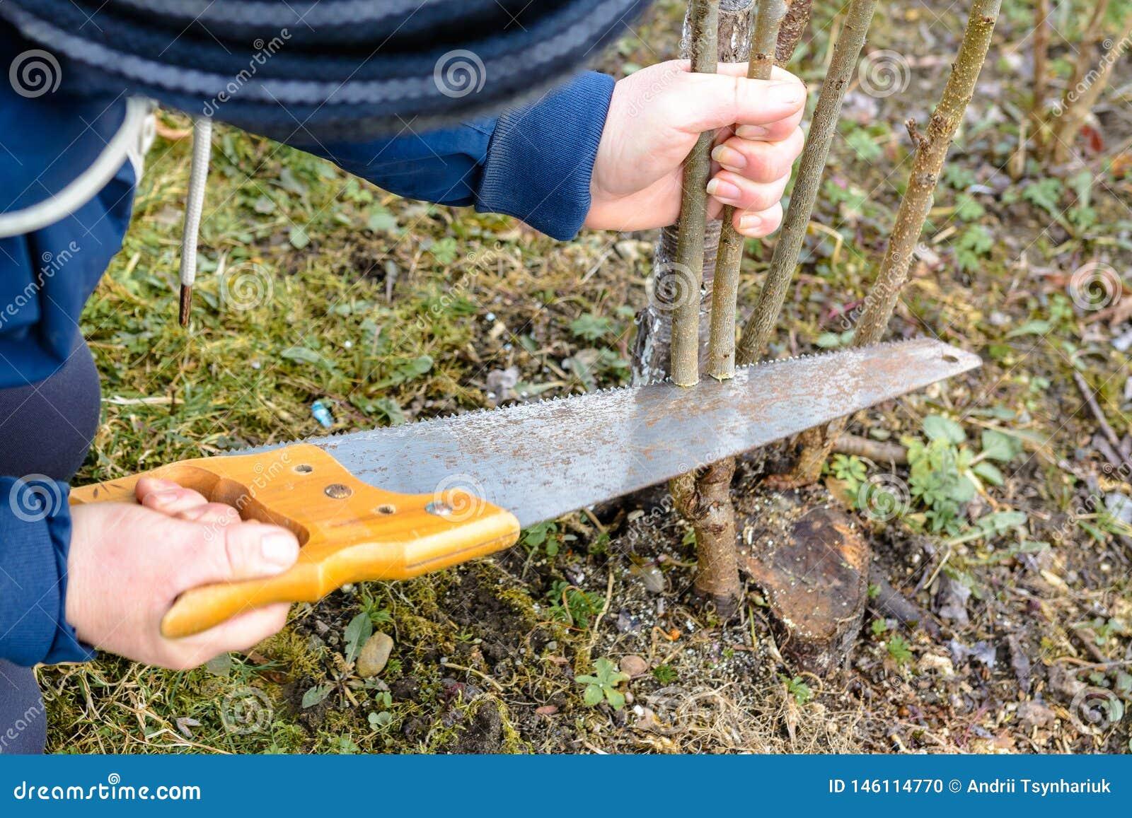 Un giardiniere femminile taglia una mano nel giardino nel giardino giovane, albero non fertile per l inoculazione dell albero da