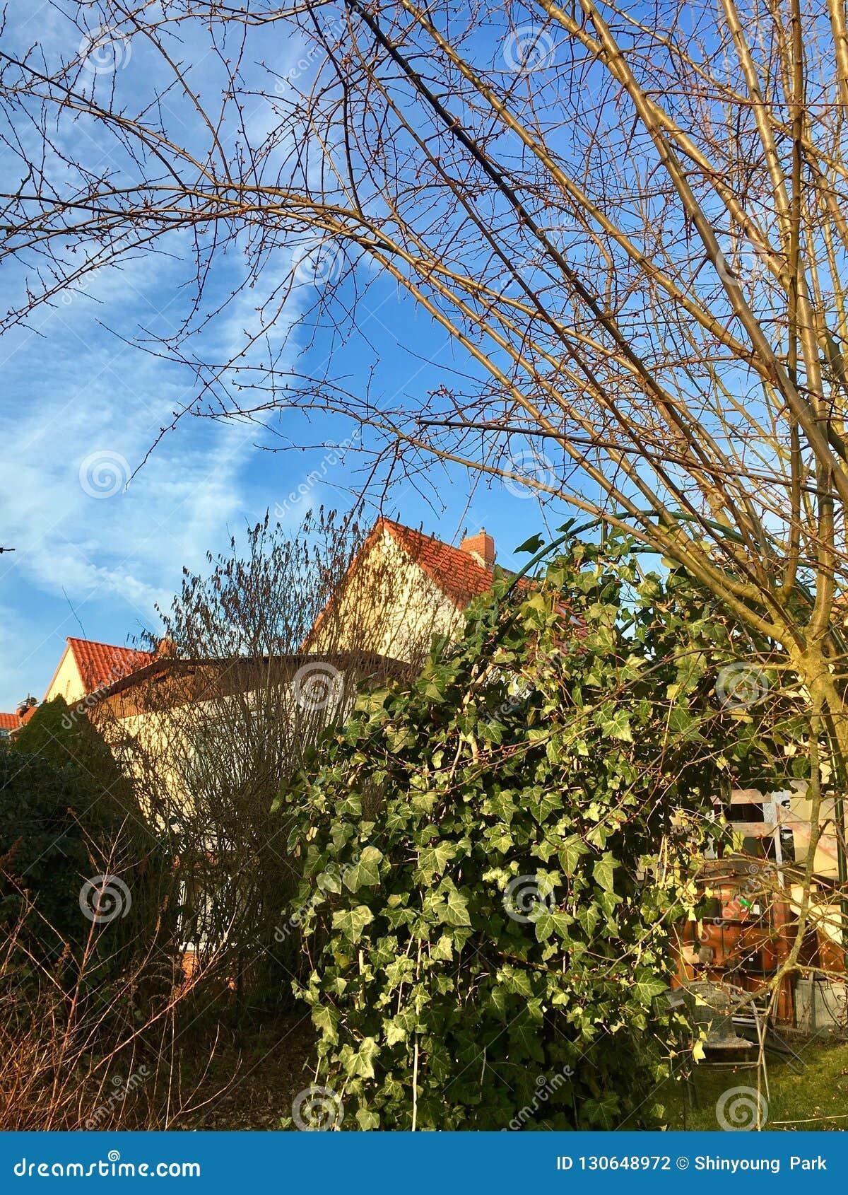 Un giardino in coverd della Germania con il hedera helix
