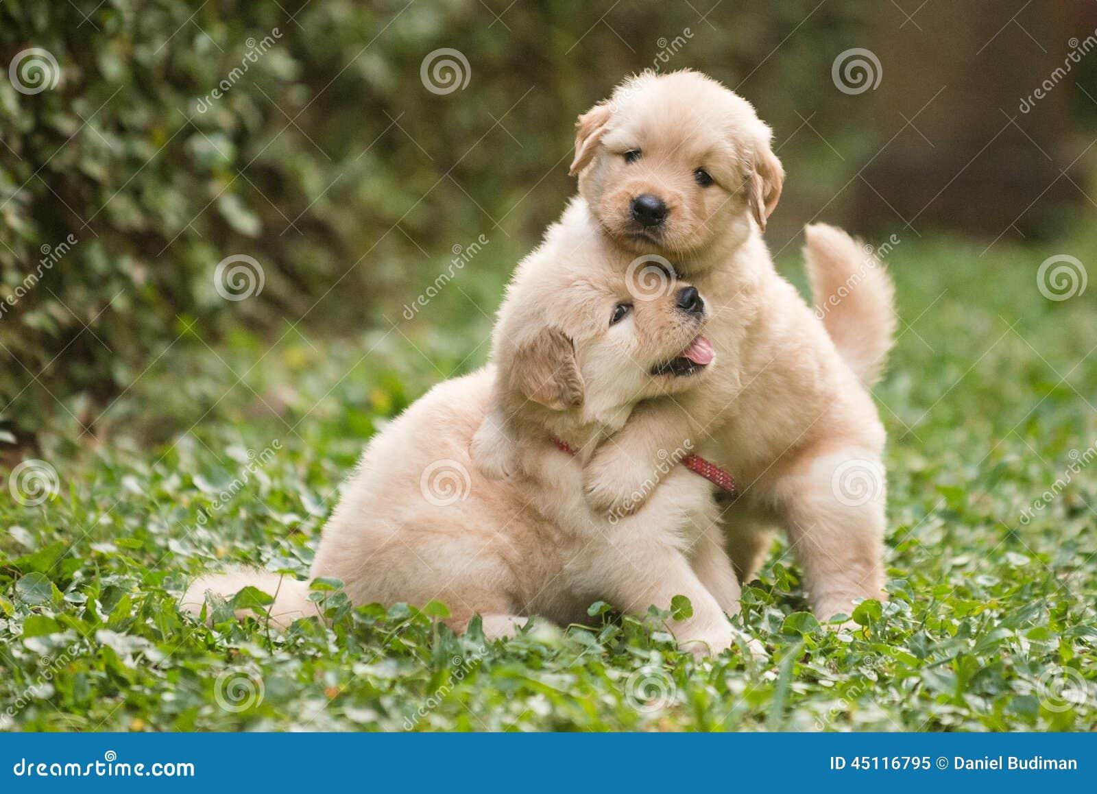 Un gioco sveglio di due cuccioli di golden retriever