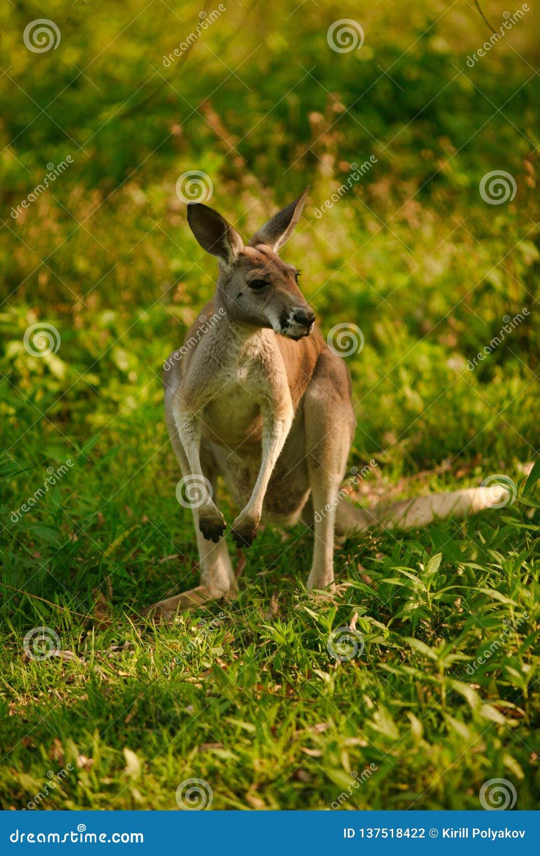 Un giovane canguro australiano rosso si siede su un prato inglese verde