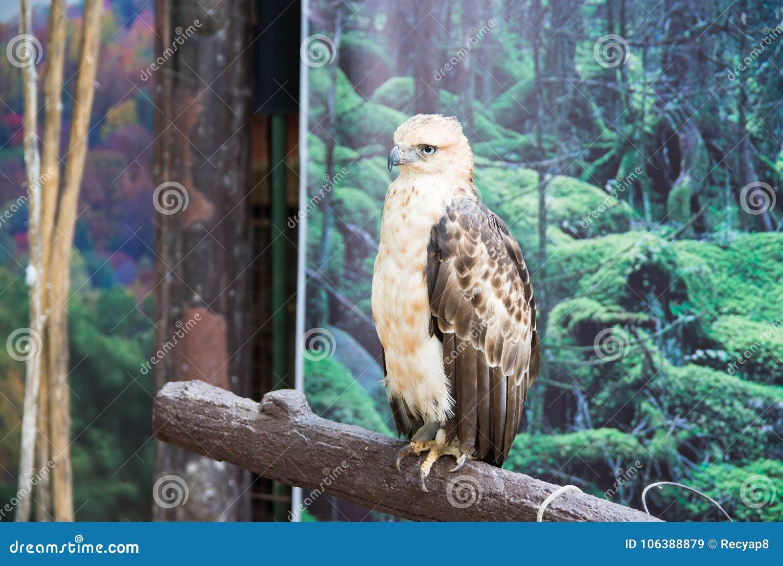 Un giovane Philippine Eagle