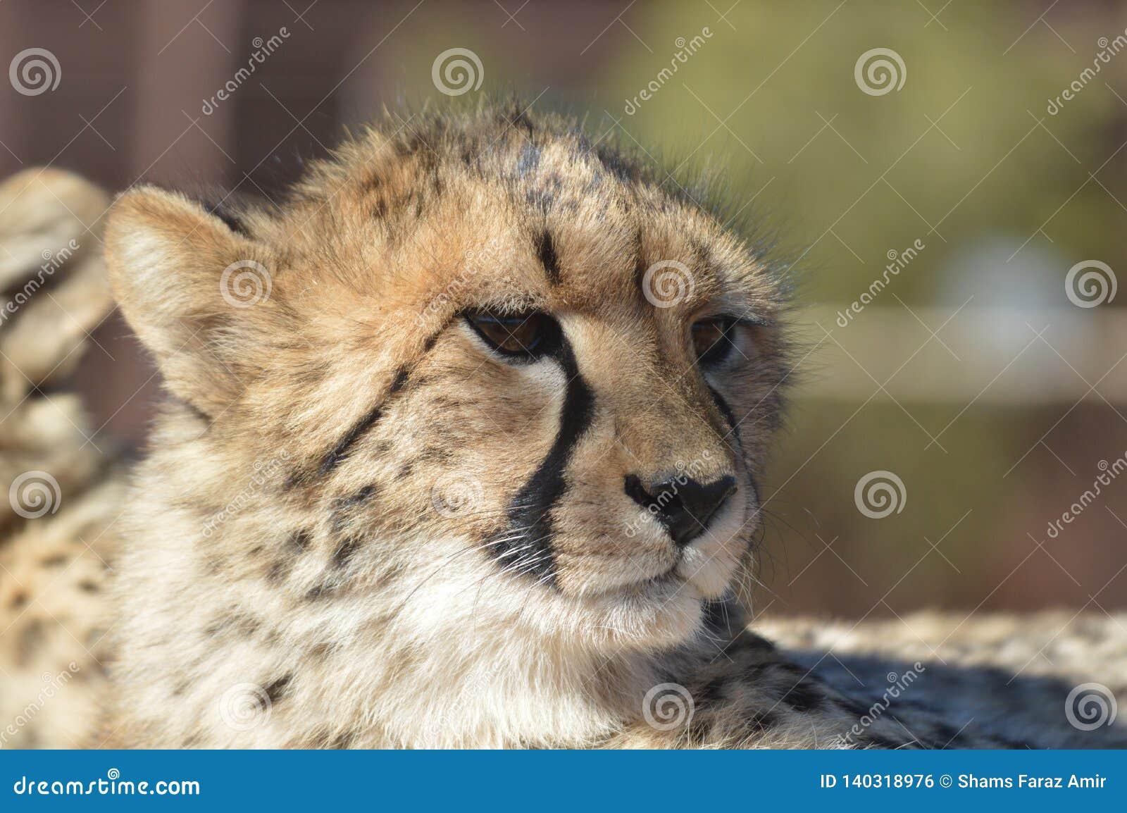 Un giovane ritratto sveglio del ghepardo durante il safari in una riserva di caccia nel Sudafrica