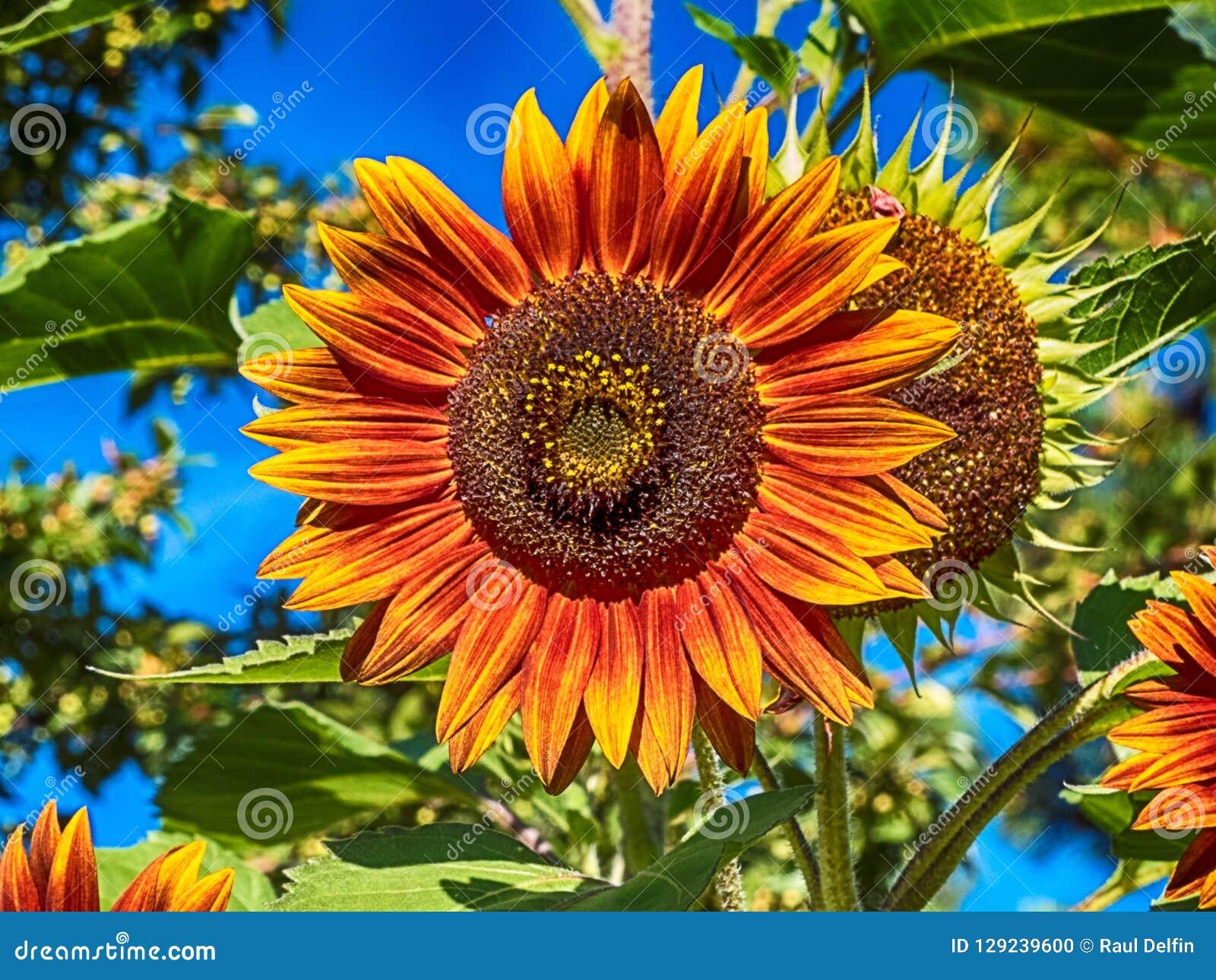 Un girasol llameante amarillo-naranja con el fondo de las plantas verdes