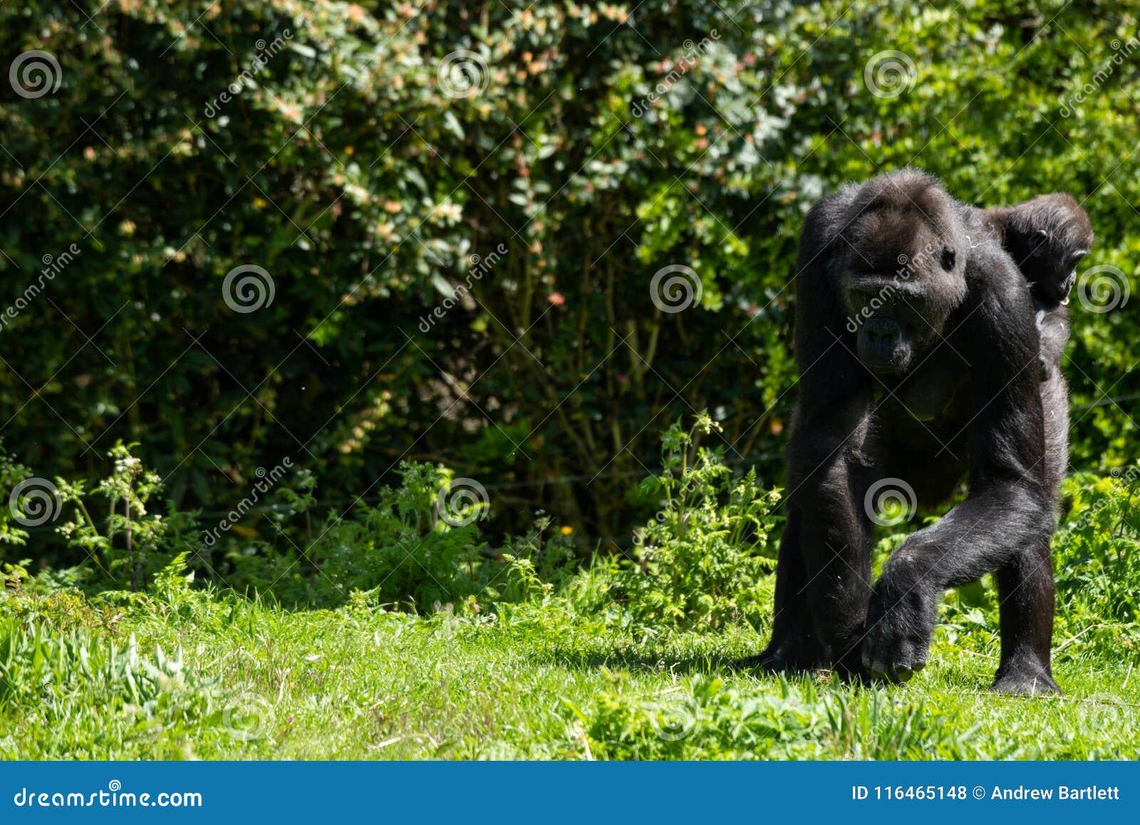 Un gorila occidental occidental adulto con su bebé en Bristol Zoo, Reino Unido