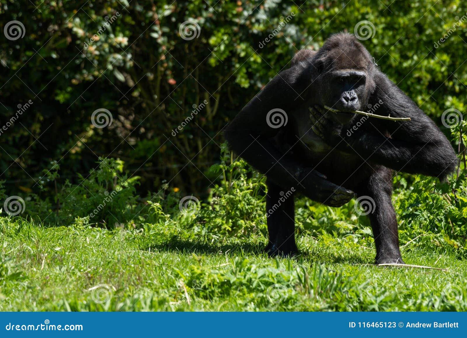 Un gorila occidental occidental adulto en Bristol Zoo, Reino Unido
