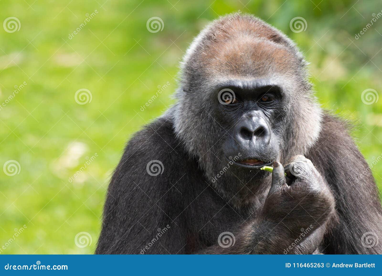 Un gorila occidental occidental adulto que alimenta en Bristol Zoo, Reino Unido