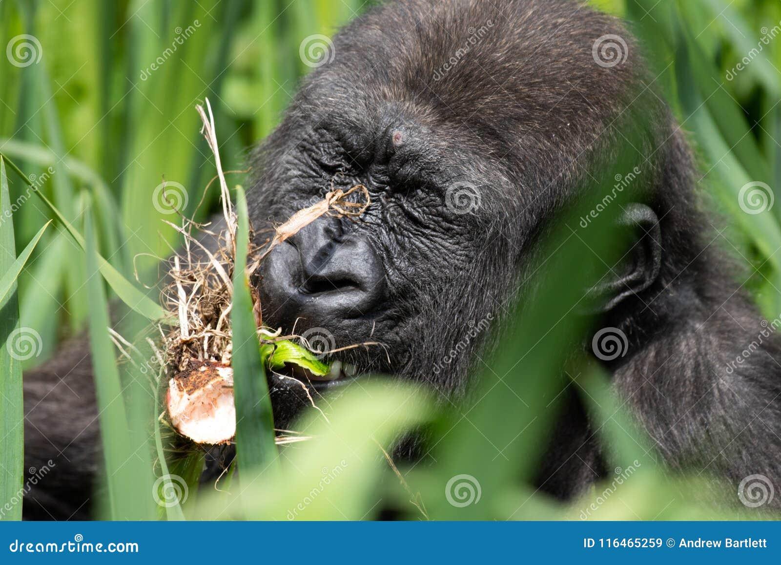Un gorila occidental occidental joven que alimenta en Bristol Zoo, Reino Unido