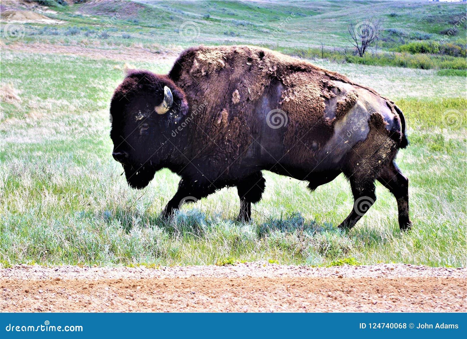 Un grand bison grasing