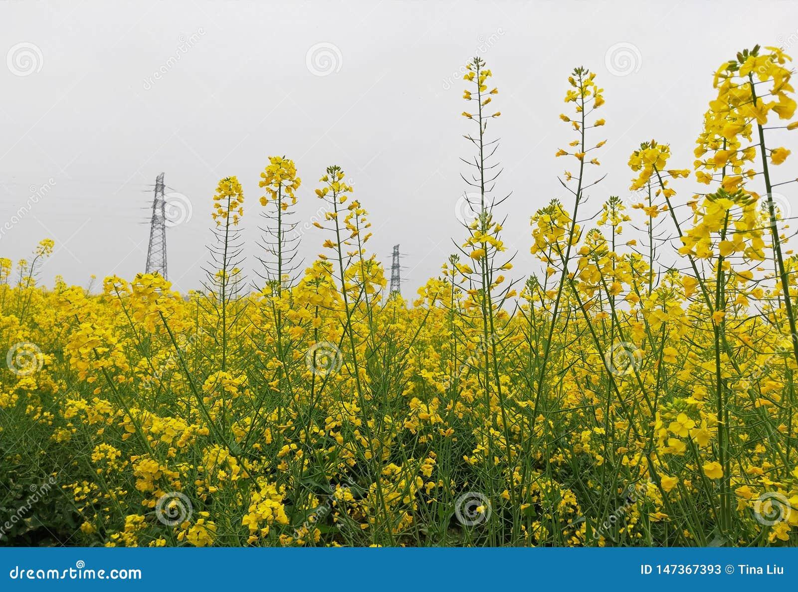 Un grande pezzo di fiore dell olio biondo