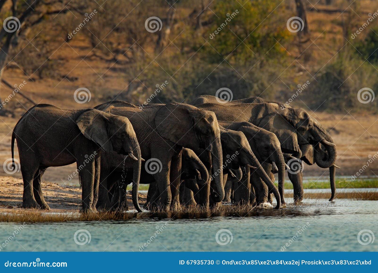 Un gregge degli elefanti africani che bevono ad un waterhole che solleva i loro tronchi, parco nazionale di Chobe, Botswana, Afri